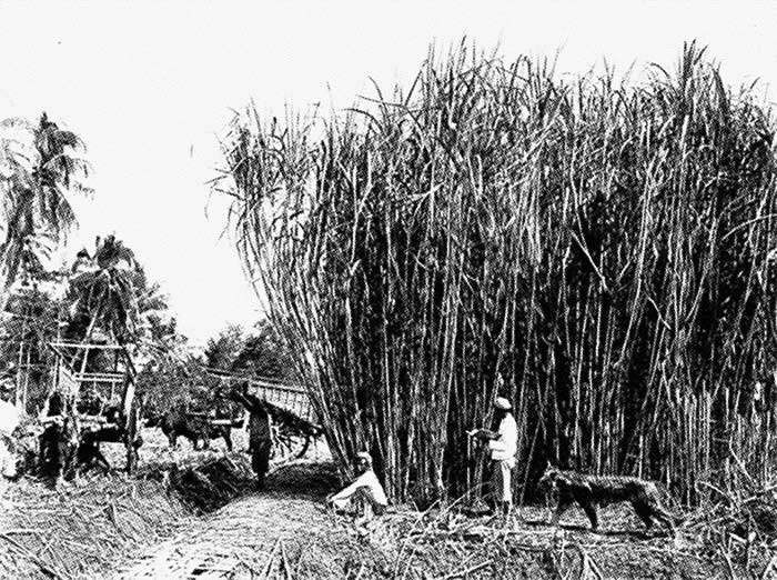 centre-for-tanah-runcuk-studies_photographs-unknown-artist-sugarcane-plantation-tiger-societas-tanaruncia.jpg